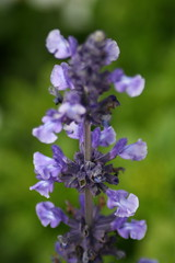 Purple Delicate (melba.toasted) Tags: summer flower garden purpleflower summergarden