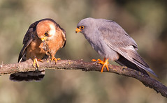 Red-footed Falcons