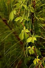 2013-07-06 045 (MoniLizar) Tags: naturaleza green nature leaves hojas nikon verdes d5100