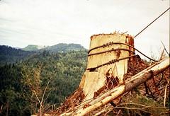 Anchor Stump - Old School with RR Spikes - Color Slide 1977 (Mike Leavenworth) Tags: oregon university forestry logging rr oldschool stump spike oregonstate chet alsea yarding ancxhor