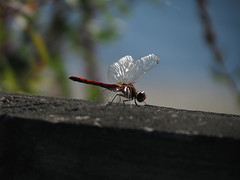 Bejeweled (deu49097) Tags: dragonfly