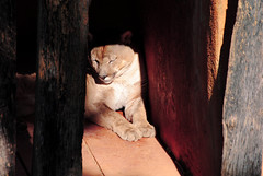 Felinos 01 (R.Olivera) Tags: brazil animal brasil zoo felino animais horizonte bh pampulha belo zologico