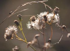 meadow abstract (robwiddowson) Tags: autumn grass fly photo shot image picture meadow seeds oxford iffley photogrpah robwiddowson
