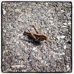 วันก่อนเจอเจ้านี่อยู่ #ลานจอดรถหลังโรบินสันศรีราชา สงสัยจะ #เมาแดด ขนาดเราเข้าไป #ถ่าย #ใกล้ๆ ยังไม่ #บินหนี เลย #ไม่น่าเชื่อ เลยนะ แถวนั้นมีแต่ตึก ยังสามารถมีตั๊กแตนตัวใหญ่ขนาดนี้ได้ #grasshopper #robinsonsriracha #carpark #christcruz