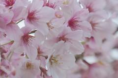 365/271: Blossom (2) (Chris Harr) Tags: newzealand flower tree lensbaby 50mm prime spring flickr blossom sony auckland morningside slt aucklandcity a77 f40 2013 lensbabycomposer sonyalpha77 alphaa77