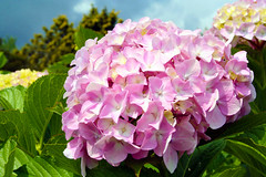 IMG_1970 - grazie a tutti con la magia di una ortensia (molovate poco presente) Tags: macro lago flora rosa natura maggiore fiori fiore visita visite stresa 450000 visualizzazioni volate tafme molovate
