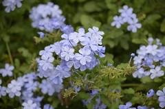 Flowers (ndrg) Tags: sotdechera sot sote racsoin racsoinn suna ndrg chera flower flowers oscar jimenez oscarjimenez óscarjiménez
