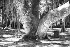 (CarlaUrbanetto) Tags: bw tree nature blackwhite treetrunk
