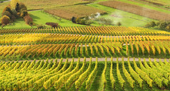 Fire in Autumn Vineyard (Habub3) Tags: street travel autumn holiday green nature canon germany landscape deutschland fire vineyard search reisen europa europe stitch stuttgart urlaub herbst natur vine powershot feuer landschaft vacanze wein weinberg g12 serach weinstadt habub3