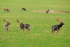 DSC_8164 (Joachim S. Mller) Tags: animal denmark mammal stag deer dnemark damhirsch tier hirsch fyn rotwild sugetier hindsgavl damwild hindsgavlhalven naturparkhindsgavl