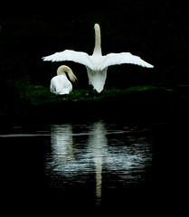 Reflections (Moments In Time..) Tags: light nature water reflections wildlife lakes swans ponds mirrrorefects