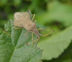 Rhombic Leatherbug (Brittany) (rockwolf) Tags: france bug insect brittany bretagne morbihan coreidae hemiptera heteroptera latrinitésurmer 2013 rockwolf syromastusrhombeus rhombicleatherbug