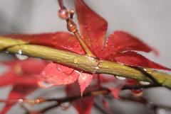 Roter Ahorn (rotscher68) Tags: nebel herbst regen tropfen roter ahorn