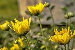 Crysenthemum..!! (sandy_photo) Tags: india flower buds westbengal chinsura