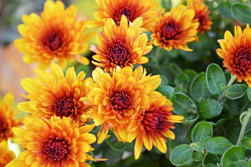 Joyful Chrysanthemums