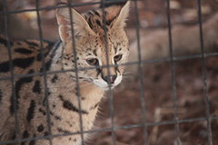 Serval (Chicago John) Tags: world park cats oregon zoo great junction cave serval cavejunction greatcatsworldpark