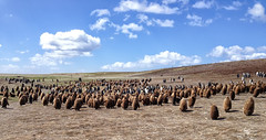 The main king penguin colony (larigan.) Tags: birds penguins chicks adults colony falklandislands aptenodytespatagonicus islasmalvinas kingpenguins volunteerpoint eastfalkland larigan phamilton iphone4s