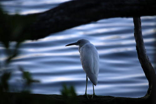 LITTLE BLUE HERON-juvenile