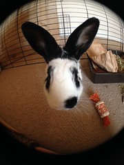 fisheye Cedric (jim-green777) Tags: pets bunny bunnies nose ears fisheye rabbits iphone wideanglelens iphone5