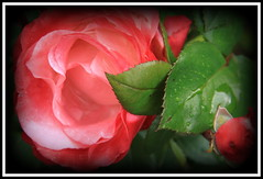 Ein schnes Wochenende (Heide (vorher roeschen56)) Tags: flowers blumen rosen takenwithlove lovelyflickr
