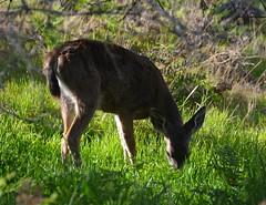 Asilomar deer 6 (afagen) Tags: california deer pacificgrove asilomar montereypeninsula asilomarconferencegrounds