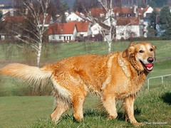 Hundeportrait - Golden Retriever (STYLUS1) (Oliver Deisenroth) Tags: dog animal goldenretriever dogportrait olympusstylus1