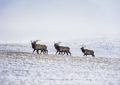 Some More Elk (dujaow) Tags: grass montana sweet hills elk sweetgrass