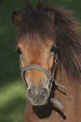 Rony the Pony (Jef Steylaerts) Tags: horse pony paard