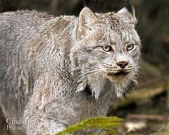 Lynx (CindyF89) Tags: america zoo pa hershey lynx zooamerica
