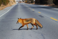 Red fox in the road - IBSP, NJ (superpugger) Tags: lawrencepugliares lpugliares fox foxes redfox mammal mammals animal animals outdoors wildlife canid canids vulpesvulpes critters