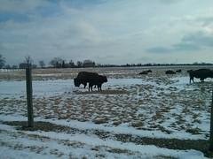 Tatonka! (ryanbytes) Tags: buffalo fermilab tatonka