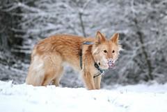 Schnee schmeckt doof (blumenbiene) Tags: schnee dog snow male dogs fun long hund braun hunde hear mischling rüde spas langhaar