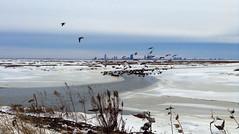 Forsythe Bird Sanctuary, Galloway New Jersey  January 26 2014 (yoiamstokes) Tags: winter sunset snow cold ice beautiful birds geese newjersey flight atlanticcity jerseyshore southjersey birdsanctuary gallowaynewjersey edwinbforsthye