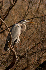 Great Blue Heron (Misshoney1) Tags: bird greatblueheron lakeskinner lauraphotos wsweekly68