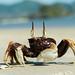 Ocypode ceratophthalma,  horned ghost crab - Krabi  Thailand