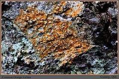 Common Orange Lichen on tree - WSF Cooroy, Qld. (grayham3) Tags: orange mountains nature canon rainforest wildlife australian australia qld queensland lichen australianwildlife cooroy orangelichen 60d wildscape 2bid214
