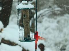 Balancing Act (momcat14c) Tags: winter snow birds newjersey backyard woodpecker cardinal snowstorm nj birdfeeder finches sparrow february mercercounty 2014 canoneosrebelt1i