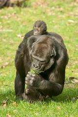 2014-02-23-12h54m19.272P1320 (A.J. Haverkamp) Tags: zoo twins gorilla arnhem thenetherlands burgerszoo dierentuin westernlowlandgorilla westelijkelaaglandgorilla canonef70200mmf28lisusmlens httpwwwburgerszoonl ngayla dob09051993 pobarnhemthenetherlands nkato nhasa dob13062013