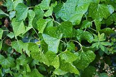 Wassertropfen auf Efeu (naturbilderfreak) Tags: freak grün wassertropfen naturbilder efeu