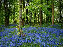 INTO THE BLUE WOODS (kenny barker) Tags: blue trees bluebells spring larbert kennybarker