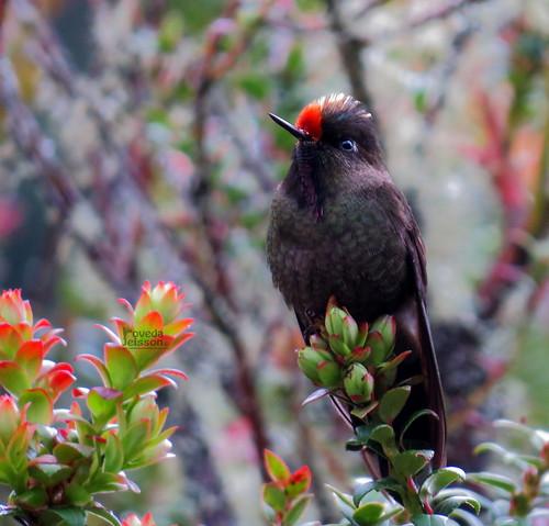 Chalcostigma herrani-Picoespina arcoiris-Rainbow-bearded Thornbill ( ♂ )