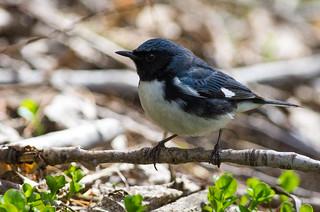 Paruline bleue / Black-throated Blue Warbler