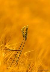 Love (josechino2424) Tags: color love dc nikon amor desenfoque campos trigo 135mm espigas d300 dorados tonos josechino2424