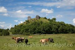 Castell Dryslwyn-1085 (www.atgof.co) Tags: castle carmarthenshire cattle sir castell gwartheg dryslwyn gaerfyrddin
