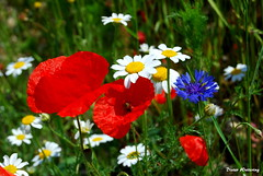 Mohn, Kornblume u. Margeriten (diwe39) Tags: mohn margeriten kornblumen frhling2014