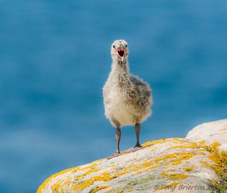 Black-Backed Gull Chick.