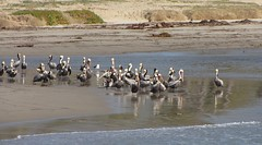 Pelicans on the beach (tquist24) Tags: california bird beach pelicans santabarbara canon geotagged pelican pacificocean canonpowershotsxis