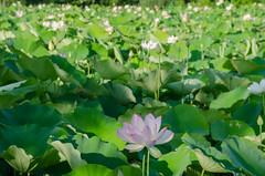 Sea of lotus (Tim Brown's Pictures) Tags: washingtondc lotus ne wetlands kenilworth lotusflower kenilworthaquaticgardens aquaticgarden lotusblossom lotusplant timbrown kenilworthparkaquaticgardens washingtondcne