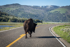 Follow Me (Scott Allen Tice) Tags: road animals us unitedstates yellowstonenationalpark yellowstone wyoming