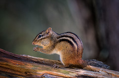 Nom Nom Nom (Kathy Macpherson Baca) Tags: explore animal animals rodent chipmunk cute tiny stripe nuts mammal cheeks life nature planet earth wildlife fur alvin northamerica